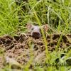 indische Maus